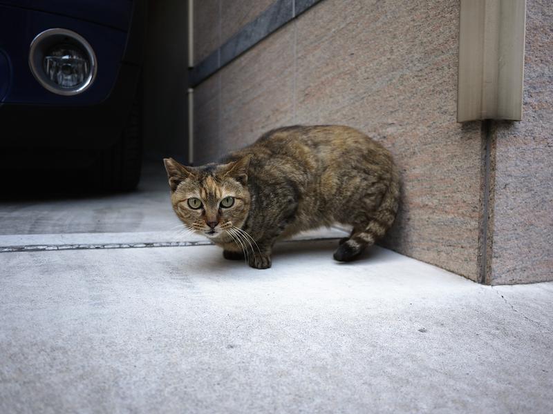 ガレージから見てるサビ猫