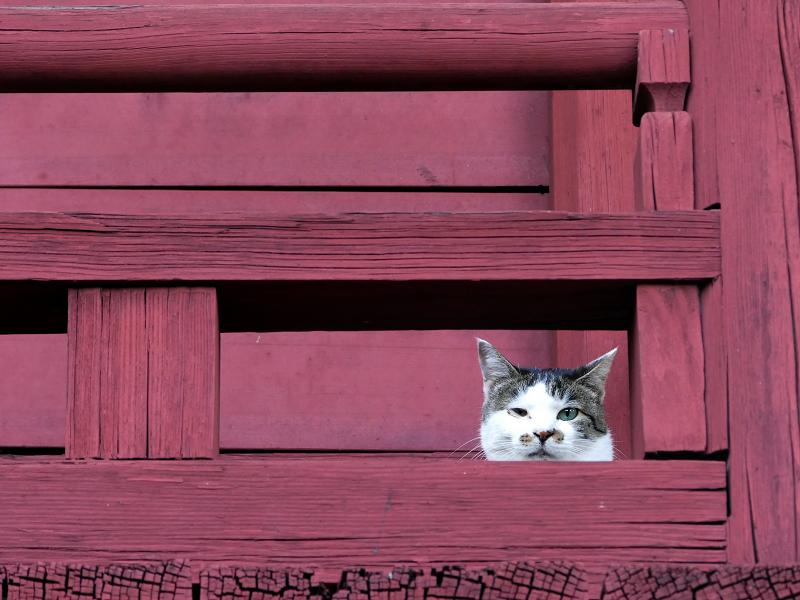 朱色欄干から見てる猫
