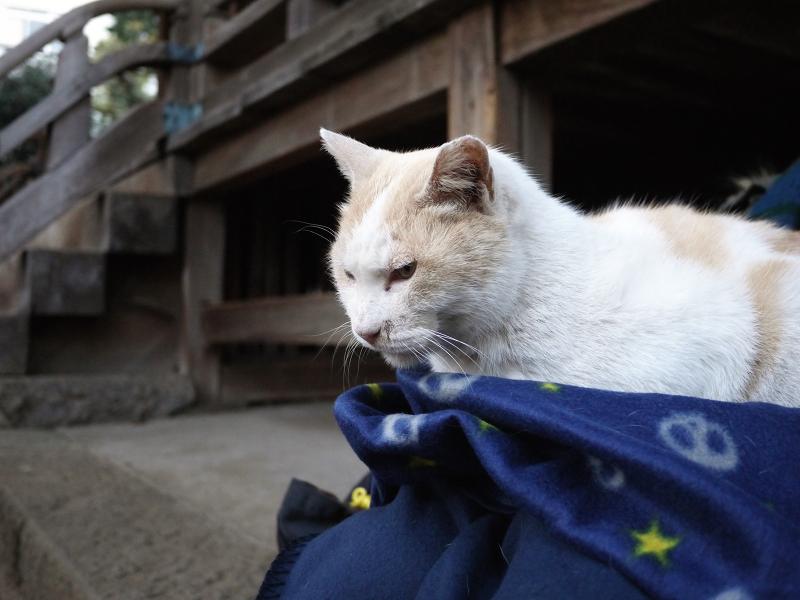 膝に乗った茶白猫