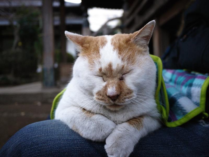 膝に乗ってた白茶猫