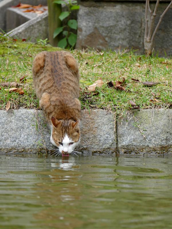 苦しそうな体勢で水を飲む猫1