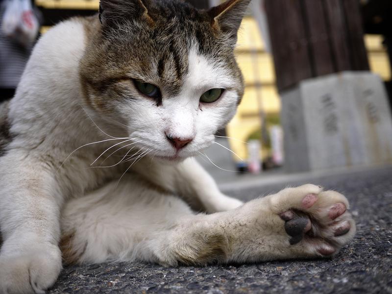 境内で毛繕いする白キジ猫2