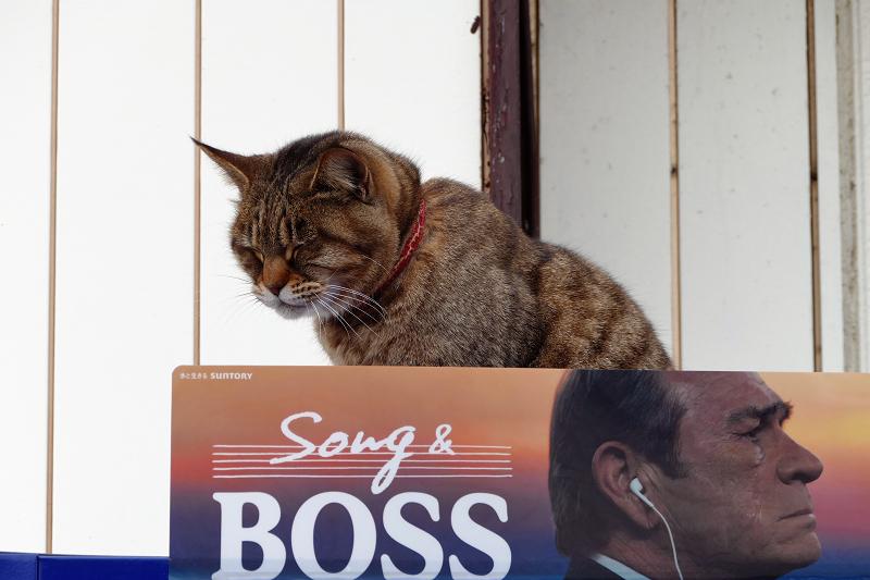 自販機の上のサビ白猫1