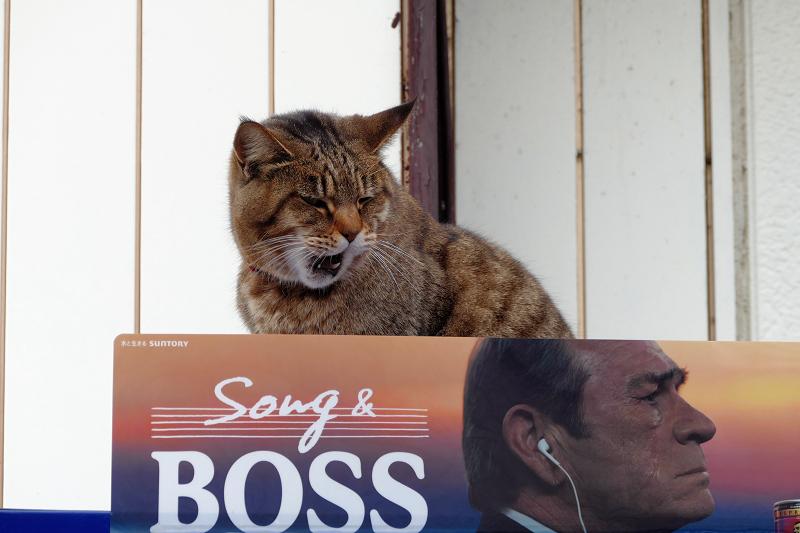 自販機の上のサビ白猫2