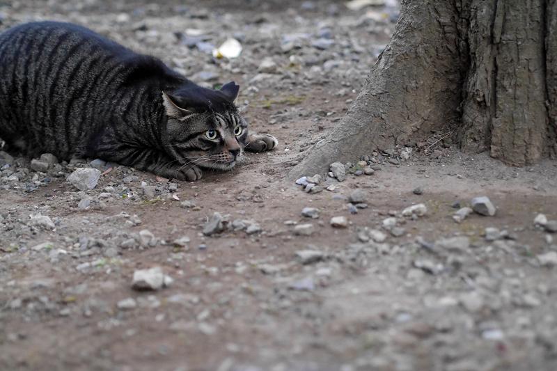 境内を走り回るキジトラ猫1