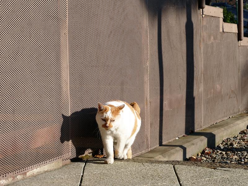 ズンズンと寄って来る白茶猫