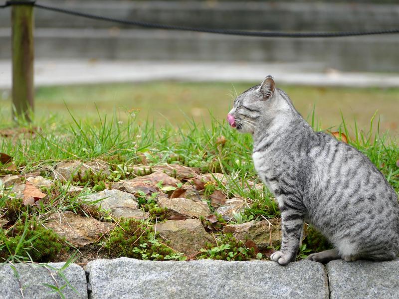 池の横でベロを出す猫