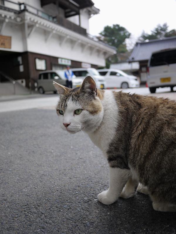 境内で睨むキジ白猫