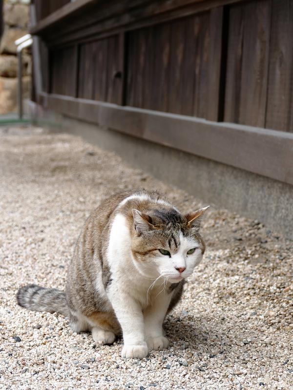 玉砂利で睨むキジ白猫