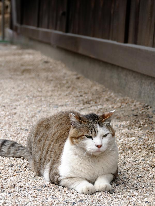 睨みながら腹ばったキジ白猫