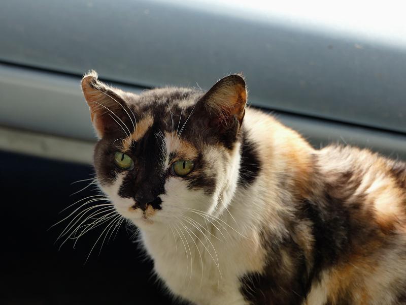 ユニーク柄の三毛猫