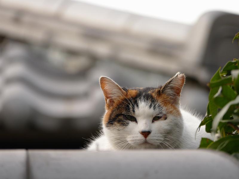 瓦越しの三毛猫1