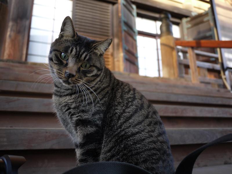 階段のキジトラ猫1