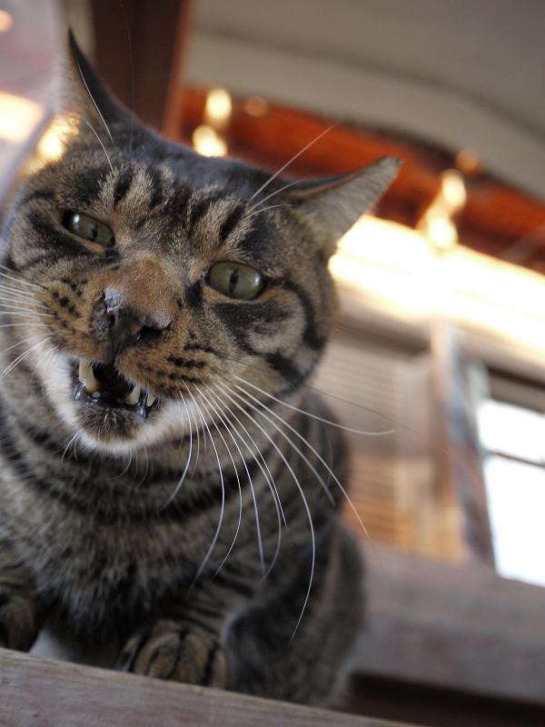 階段のキジトラ猫2