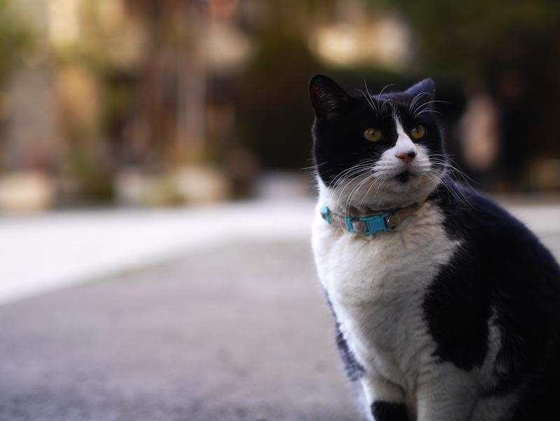 夕暮れの境内と黒白猫