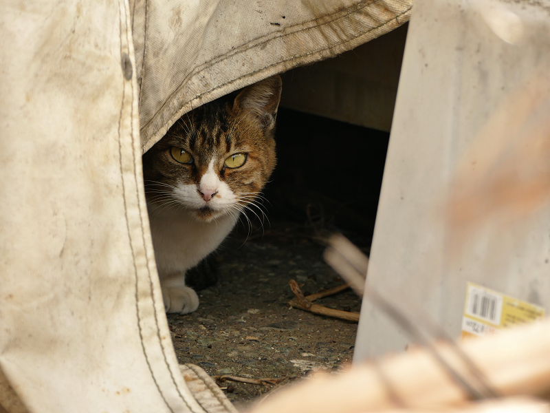 帆布の隙間から覗いてる猫1