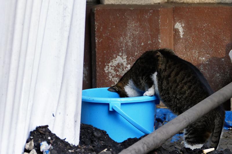 バケツの中を覗く猫1