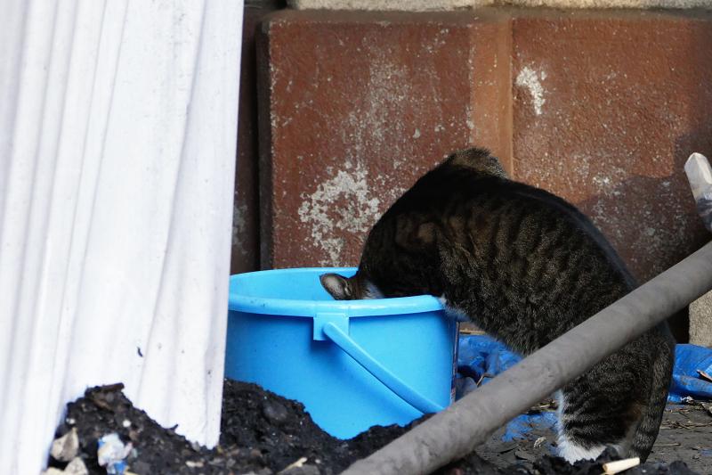 バケツの中を覗く猫2