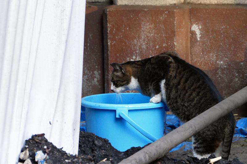 バケツの中を覗く猫3