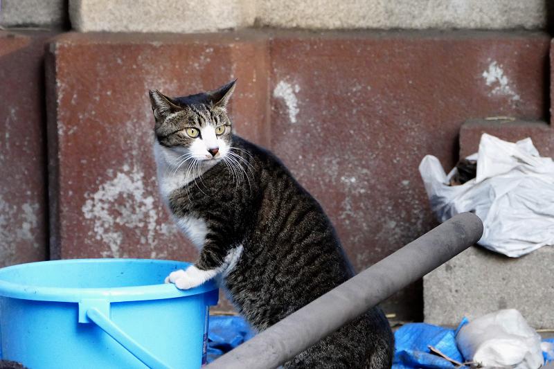 バケツの中を覗く猫4