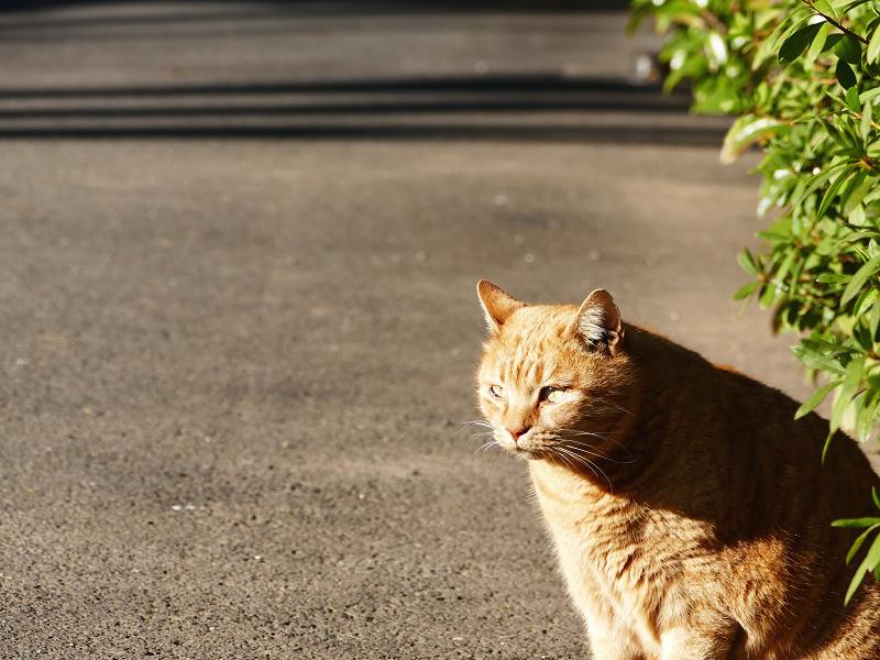 茂みの前の茶トラ猫1