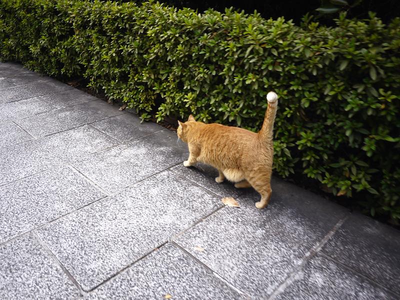 尻尾を立てて歩いてる猫