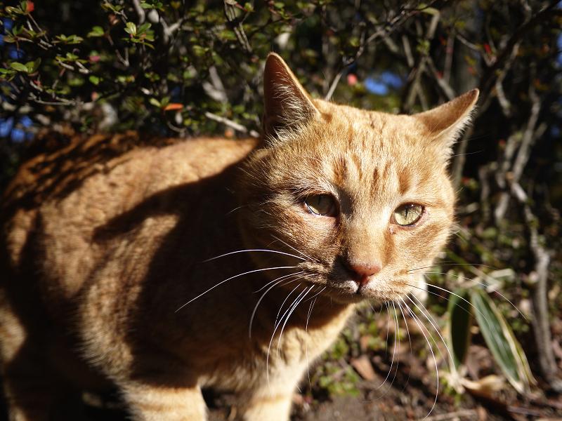 茂みの前の茶トラ猫2