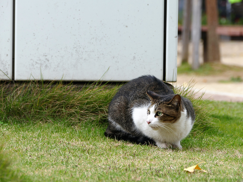 睨まれてた公園のキジ白猫