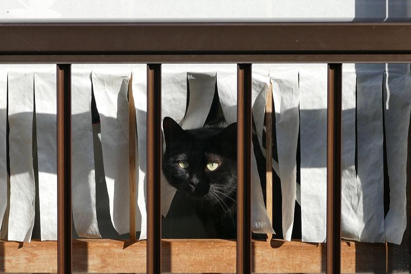 窓から覗いてる黒猫