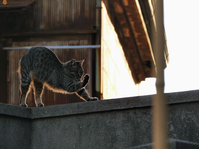 逆光の中で伸びをする猫1