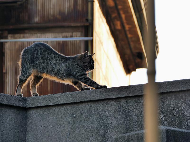 逆光の中で伸びをする猫3