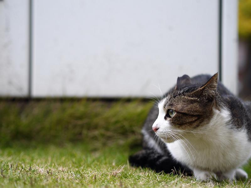 低い姿勢のキジ白猫