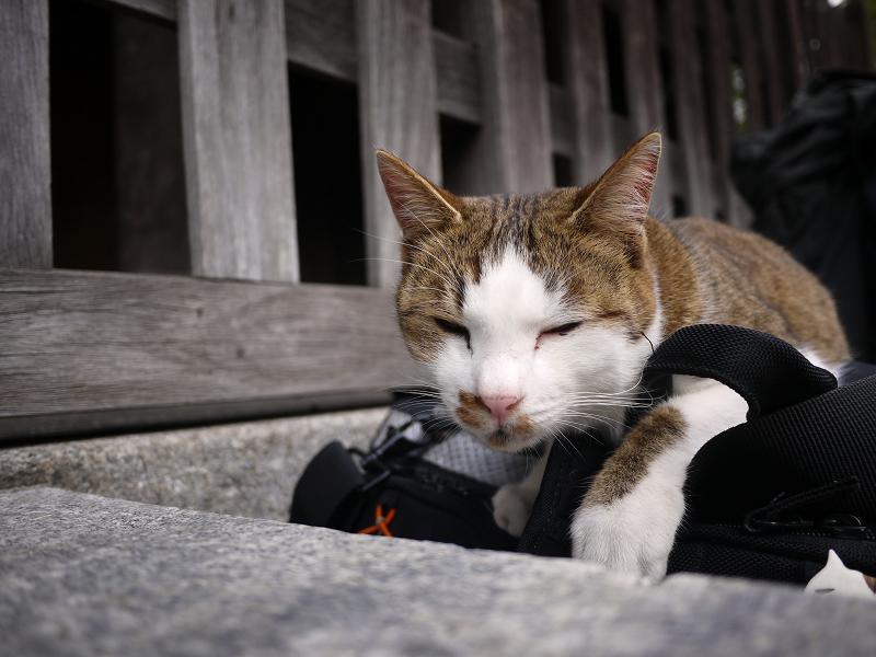 カメラバッグで寛ぐ猫1