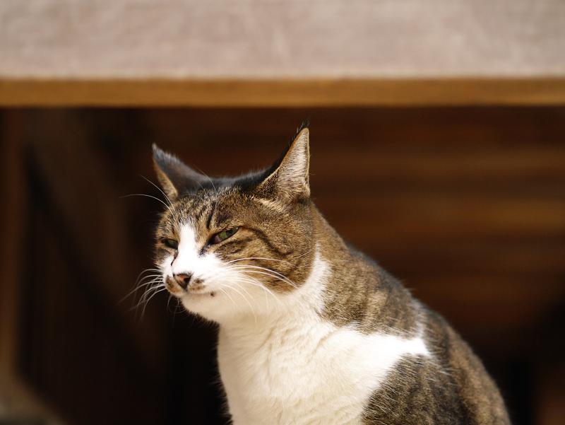 素っ気ない表情のキジ白猫1