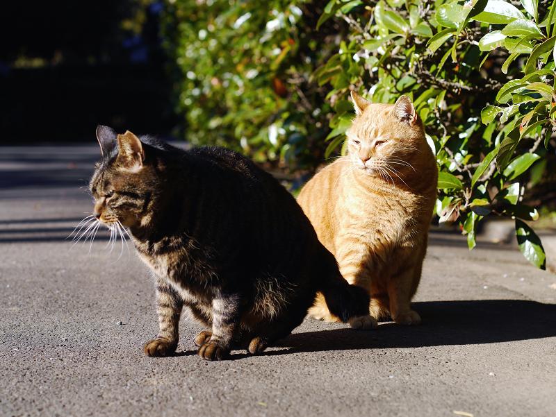 茂みの前のキジトラ猫と茶トラ猫1