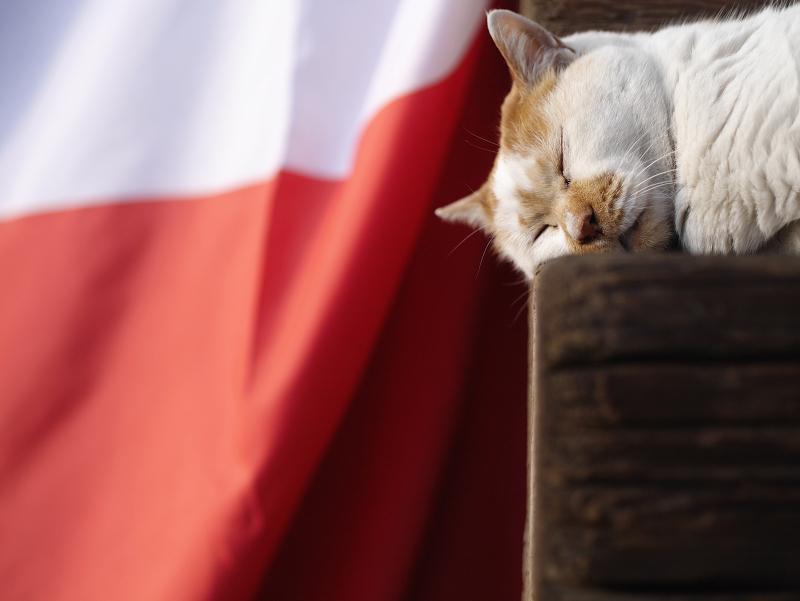 紅白の幕の前で寝てる白茶猫