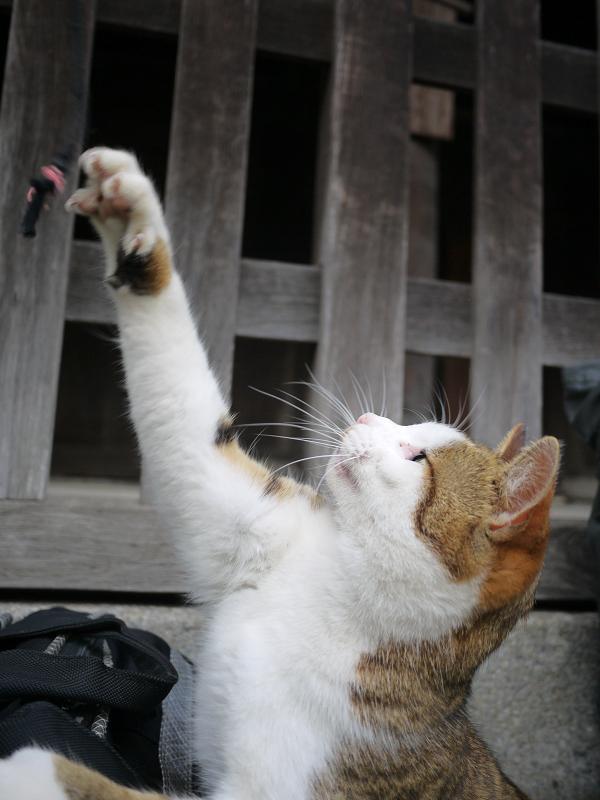 バッグの上でゴム紐で遊ぶ猫1