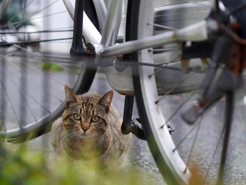 枠の外の雉虎猫