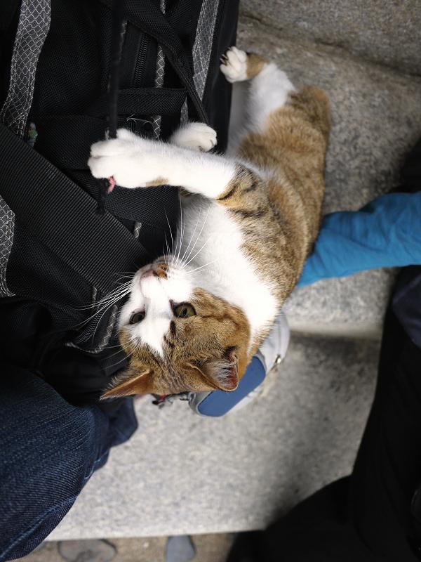 バッグの上でゴム紐で遊ぶ猫3