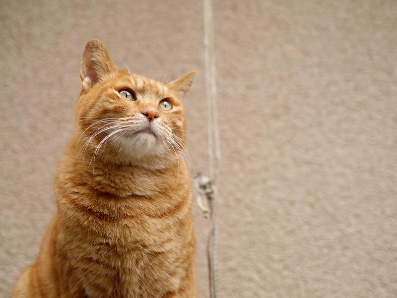 壁の前で見上げてる茶トラ猫