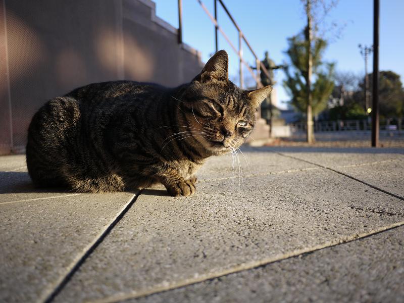 石畳の雉虎猫
