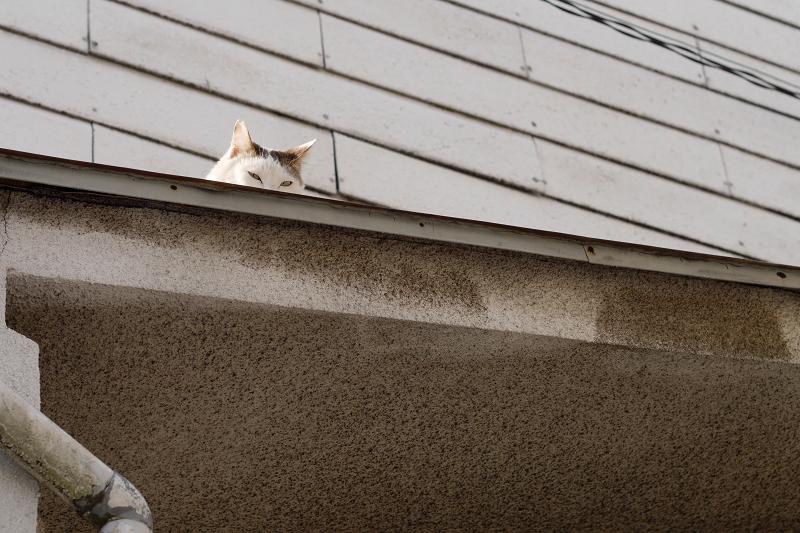 ひさしの上で睨んでる白キジ猫