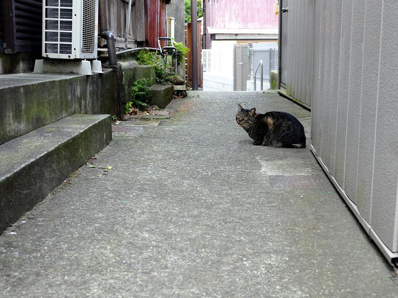 路地で佇む雉虎猫
