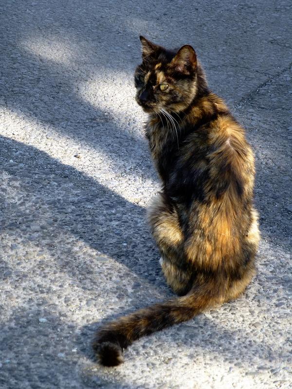 振り返るサビ柄猫