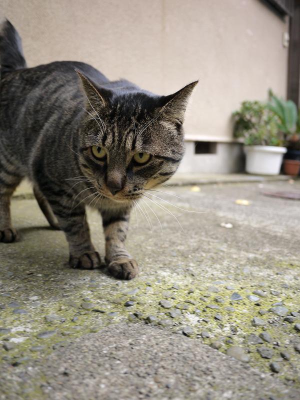 路地で睨むキジトラ猫