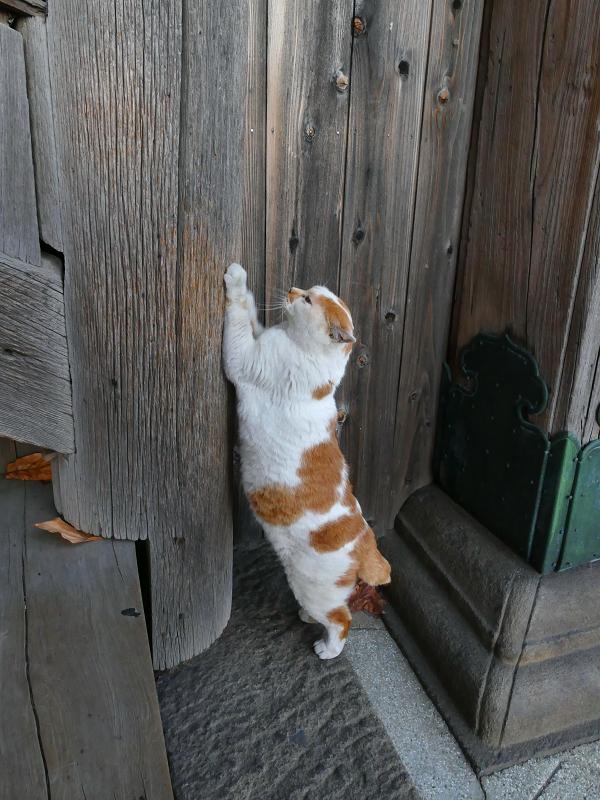 木柱にパッツンする白茶猫2