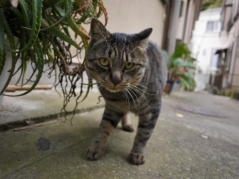 路地を歩いて寄って来た雉虎猫1