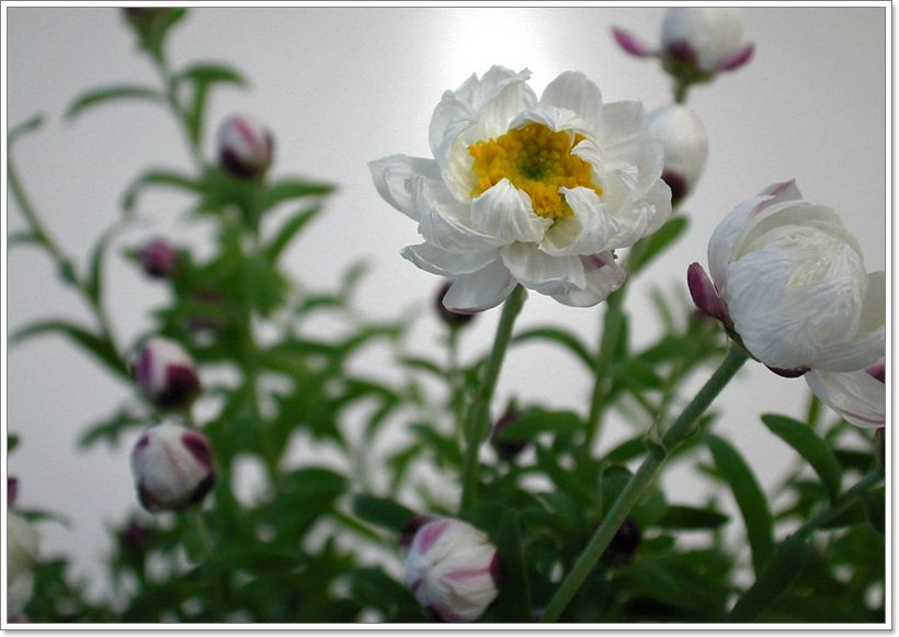 0010 ローダンセ(花かんざし)