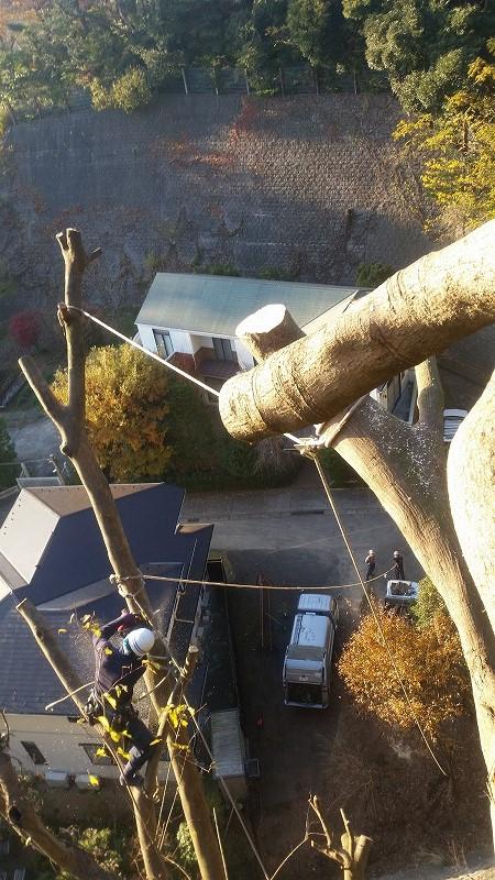鎌倉での樹木伐採作業