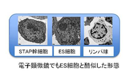 STAP幹細胞